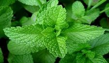 mint1-resized