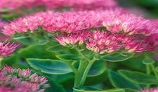 sedum-brilliant-resized